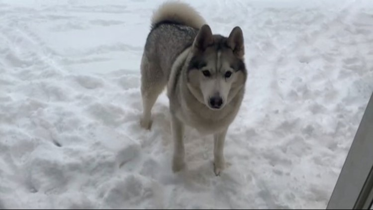This Husky Does Not Want to Come Inside After Playing in the Snow!