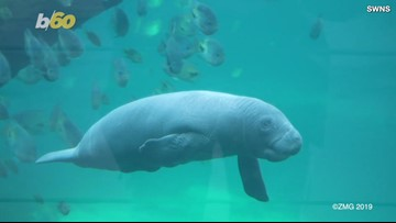 Baby Manatee Survives Birth Despite Mother Being Too Chubby For an Ultrasound