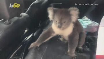 Un-Bearlievable! Winemaker Finds Koala Bear Chilling In His Car!