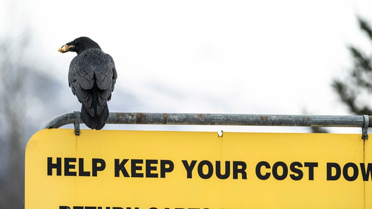 Some Alaska Costco shoppers say ravens steal their groceries