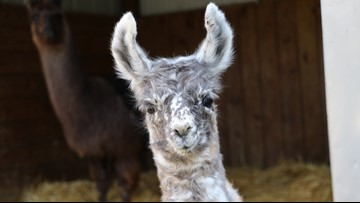 Minnesota Zoo welcomes second baby llama of the summer
