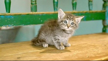 Kittens in San Antonio looking for their purr-ever homes