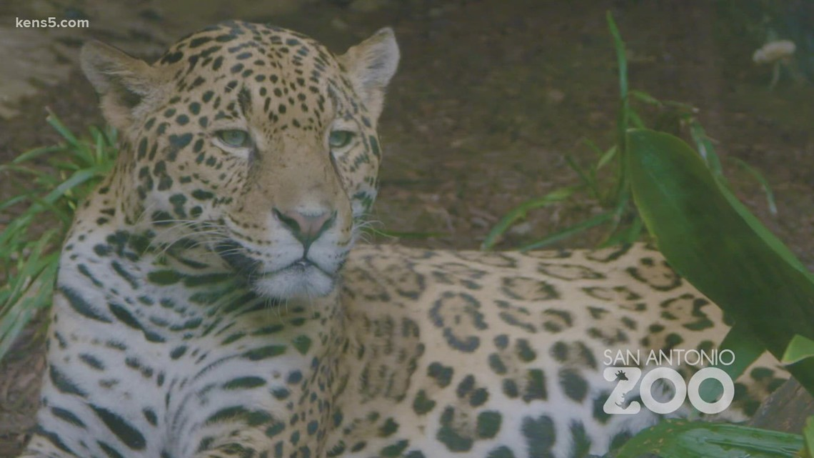 San Antonio Zoo to receive COVID-19 vaccines for its animals