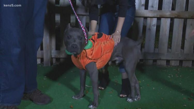 SO CUTE! Meet Baxter, a pup ready to be a pumpkin for Halloween 🎃🦴️