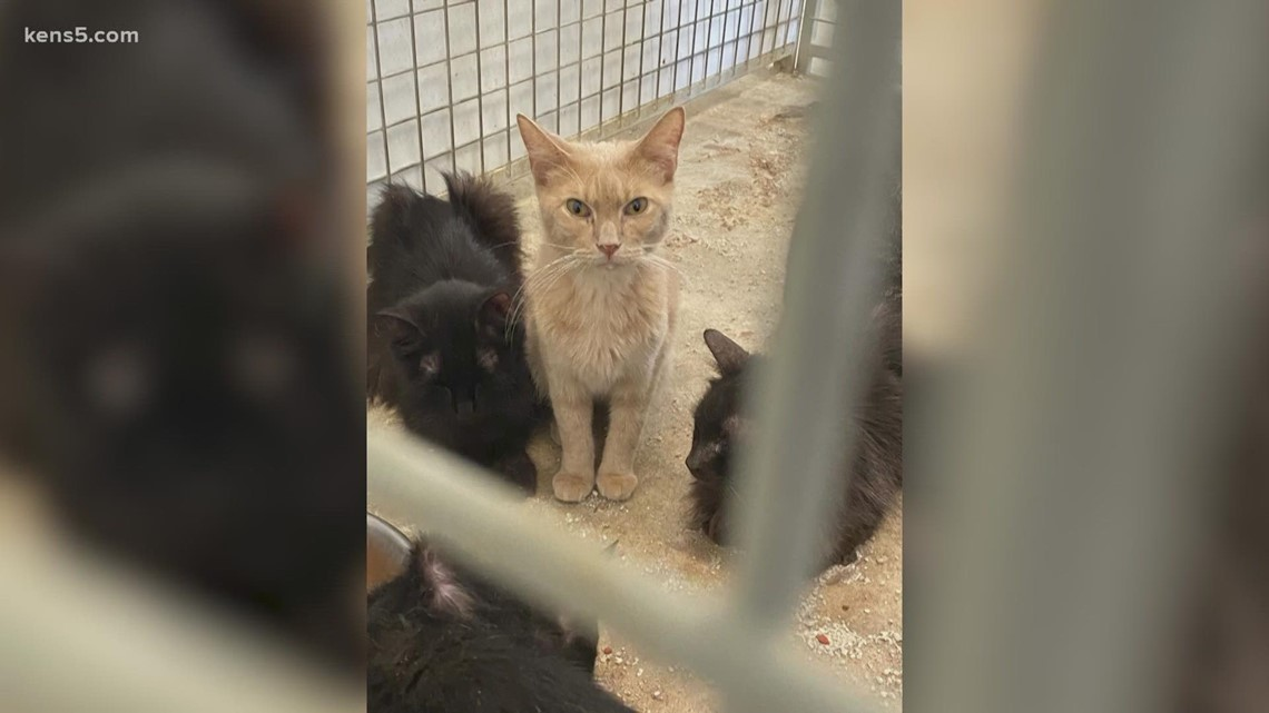 Clock is ticking for more than 40 cats seized from San Antonio-area home