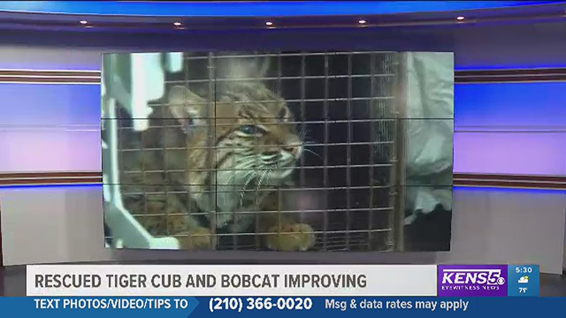 Rescued tiger and bobcat improving