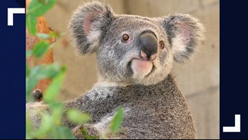 Koalas return to the San Antonio Zoo this summer