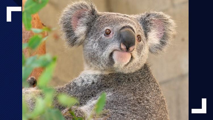 Koalas return to the San Antonio Zoo this summer
