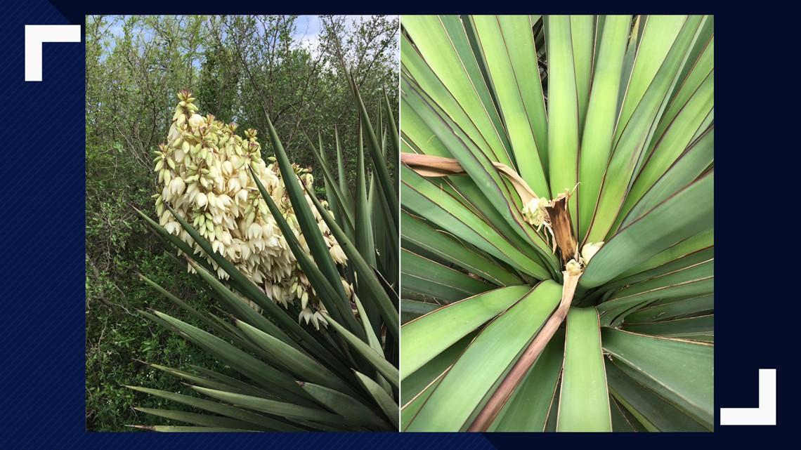 Vandals destroy yucca plants in southeast San Antonio park