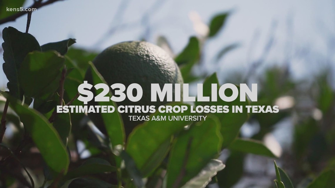 Texas citrus growers still trying to assess damage post winter freeze