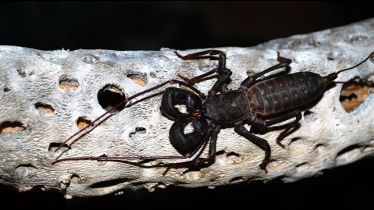 Vinegaroons are popping up in Texas. But, are they harmful or harmless?