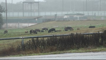 Feral hogs cause concern in Canyon Lake