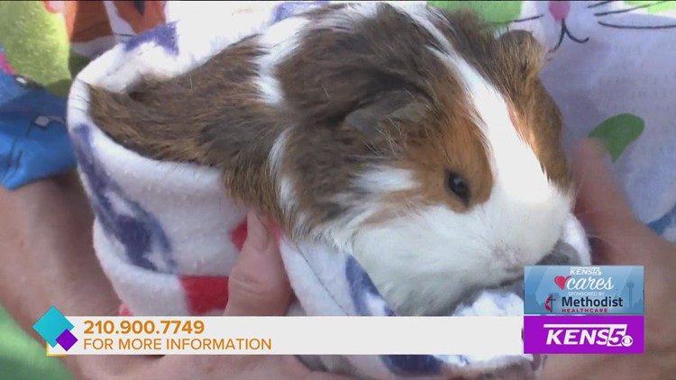 Adopt don't shop for guinea pigs