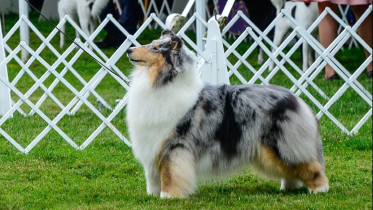 Collie from Boerne wins at Westminster Kennel Club Dog Show