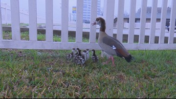 Family of geese saved along I-10 during morning commute