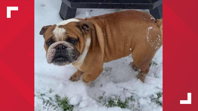 'We just want Gunner home' | Woman says English Bulldog was stolen from yard