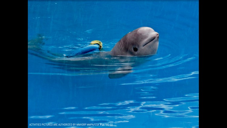 Tyonek was less than a month old when he was rescued from Cook Inlet, Alaska last fall. SeaWorld San Antonio will be his new permanent home.
