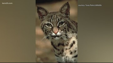 'Aren't as common to see': Bobcats found dead on city's south side