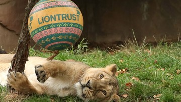 Lions at London Zoo celebrate World Lion Day in style
