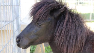 ACS looking for owners of pony found tied up at baseball field