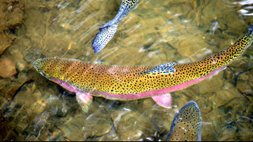 Thousands of rainbow trout to be stocked in San Antonio