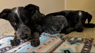 Gravely ill puppies rescued from house fire surrendered to San Antonio Pets Alive!