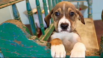 Cuddly canines to adopt in San Antonio