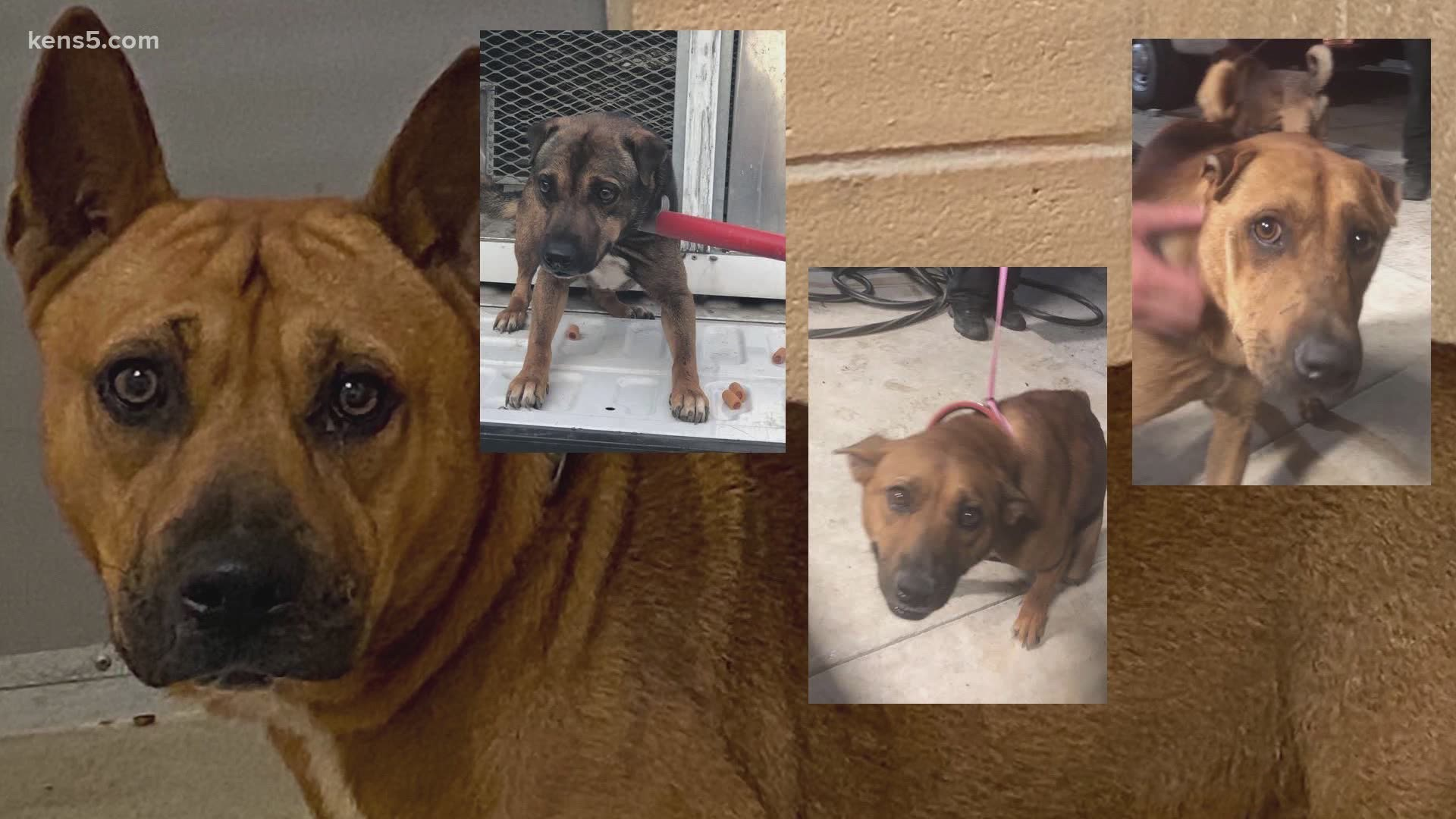 This Is Pretty Much As Bad As It Gets 23 Shar Pei Mixes Put New Braunfels Animal Shelter At Capacity Kens5 Com