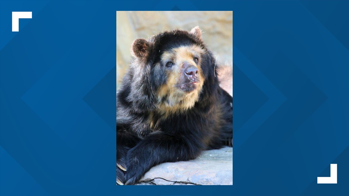 SA Zoo announces death of 28-year-old spectacled bear, Bernadette