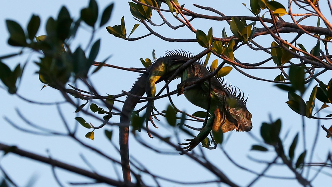 Cold with a chance of iguanas | Weather Minds
