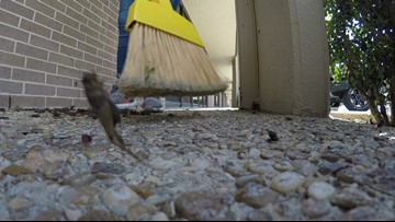 'The calls have increased': Crickets keep cleaning companies busy