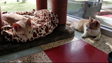 Two wobbly cats adopted, one still needs a forever home, San Antonio Humane Society says