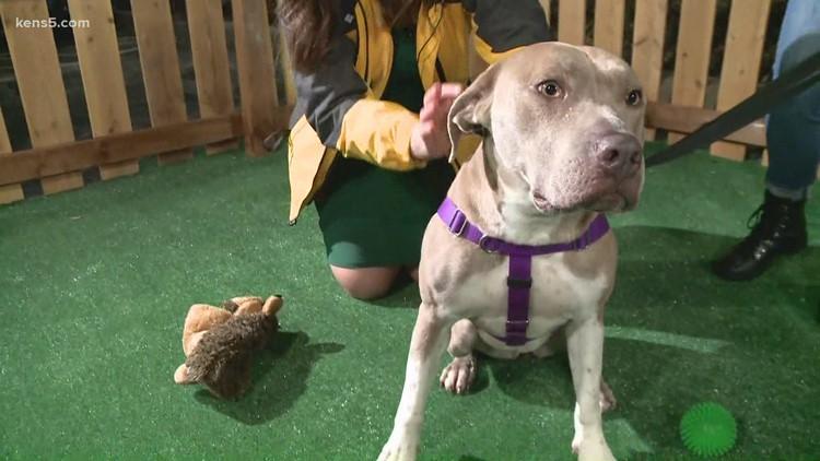 Meet the longest resident of the San Antonio Humane Society, Addie   KENS Cares