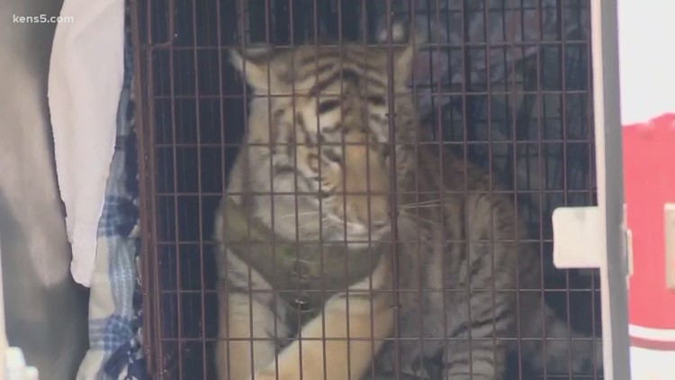 Why tigers are showing up in Texas neighborhoods