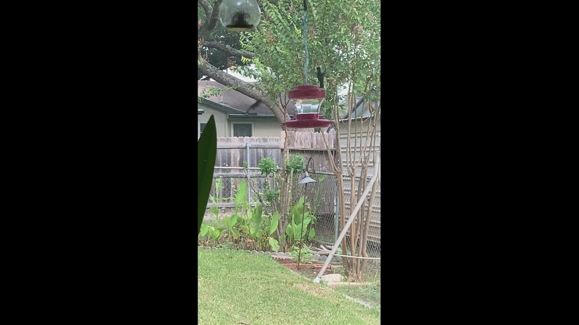 Hummingbird squabble