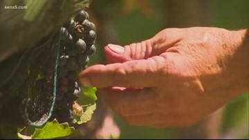San Antonio college offering Texas's first wine-making associate's degree
