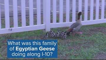 Egyptian geese rescued during morning commute