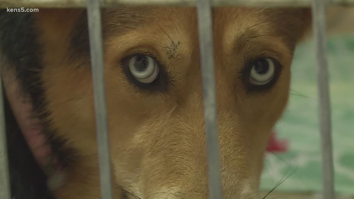 'We really, really need extra help'   Humane Society of the New Braunfels Area asks people to foster and adopt shelter pets