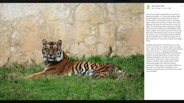 San Antonio Zoo staffers euthanize 12-year-old tiger after health complications