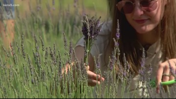 Texas Outdoors: Hill Country Lavender
