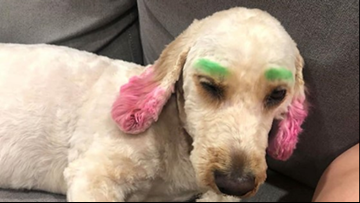 Florida woman's dog dyed green and pink by groomer