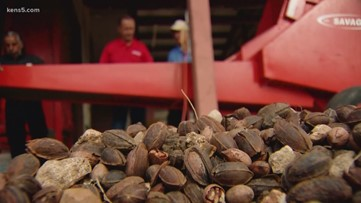 Texas Outdoors: Pecans are ripe for the picking!