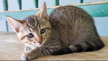 Kittens in San Antonio looking for their fur-ever homes