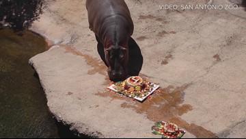San Antonio Zoo throws hippo a Fiesta birthday party
