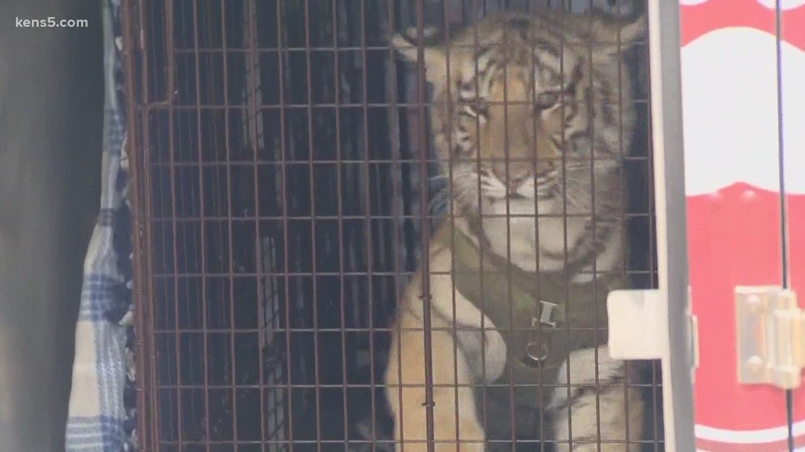 Tiger, bobcat seized from southeast side home where they had free run of the house, per BCSO