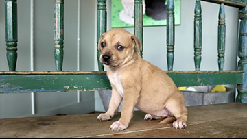 These puppies are up for adoption in San Antonio