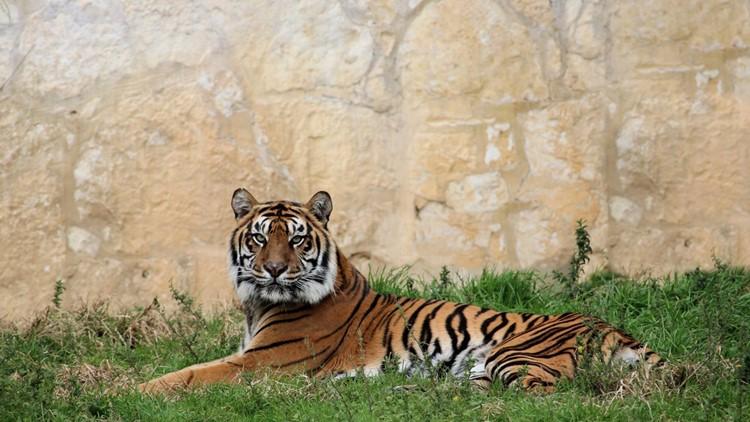 Kemala, 12-yr-old Sumatran tiger, dies at San Antonio Zoo after health complications