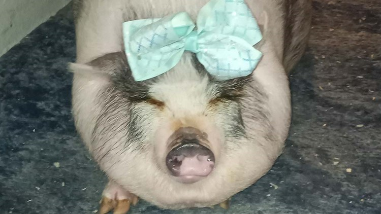 Emotional support pig stolen from California family visiting Houston has died