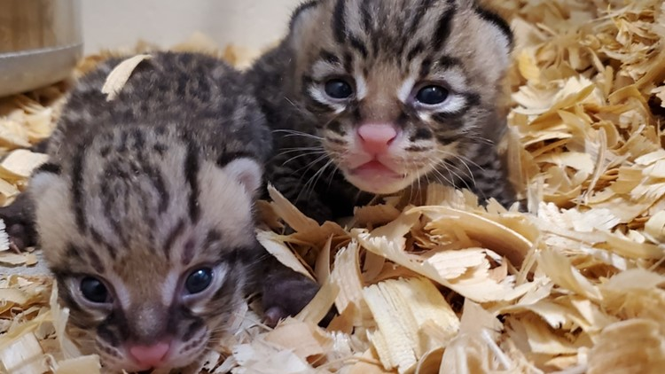 PHOTO: Two rare, healthy ocelot cubs born at the Houston Zoo