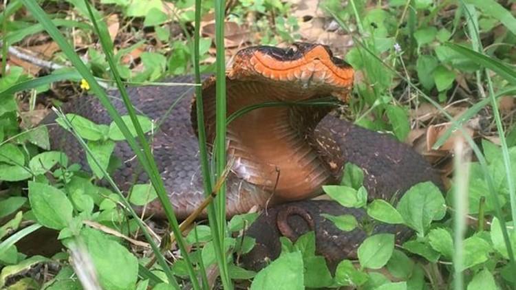 Brazos Bend Snake